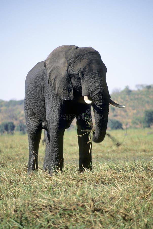 Éléphant mangeant l'herbe photo stock