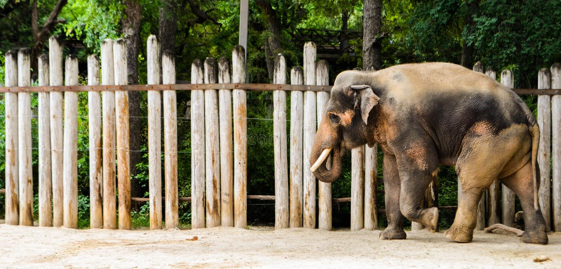 Éléphant masculin photographie stock