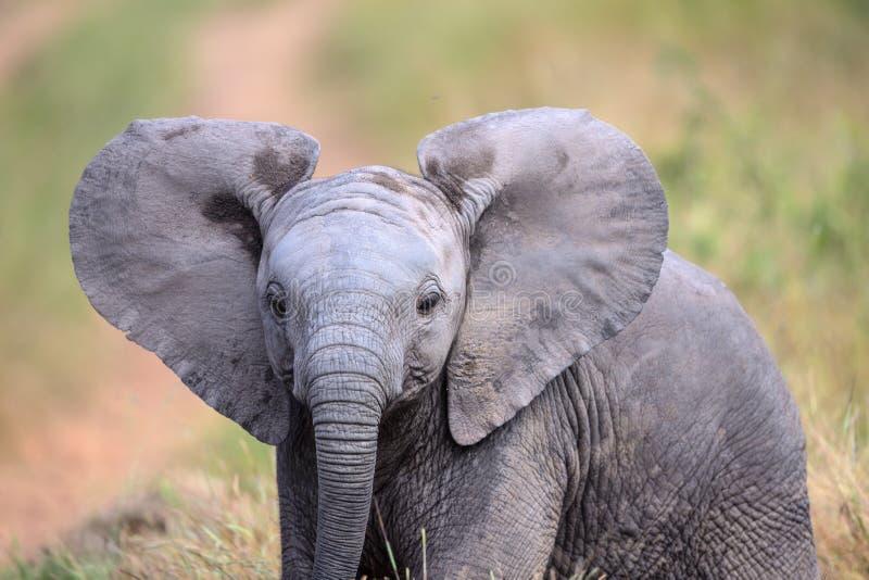 Éléphant mignon de bébé marchant par un champ en parc national de Kruger image libre de droits