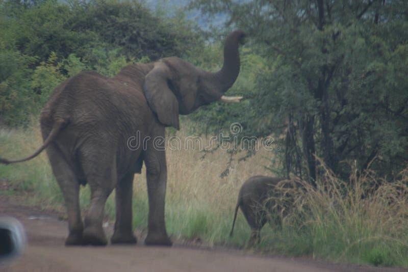 Éléphant ondulant au revoir images libres de droits