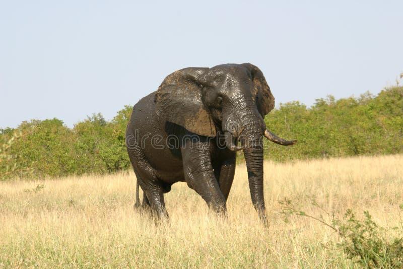 Éléphant parfait normal images stock