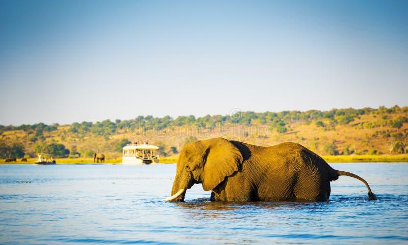 Download Éléphant Pataugeant à Travers La Rivière Botswana De Chobe Image stock - Image du safari, nature: 77155615