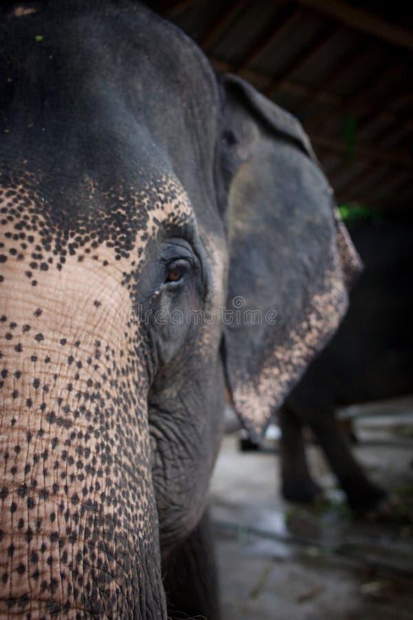 Éléphant, portrait en gros plan Moitié de la tête, photo libre de droits