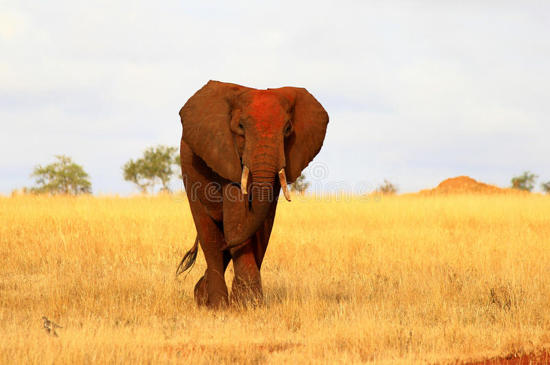 Éléphant rouge africain photographie stock