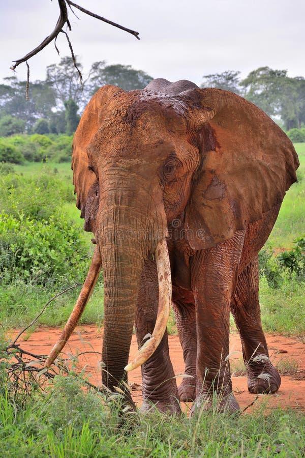 Éléphant rouge de Tsavo, Kenya photos libres de droits