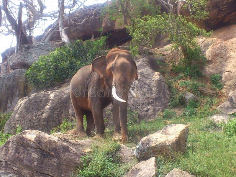 Éléphant sauvage image libre de droits