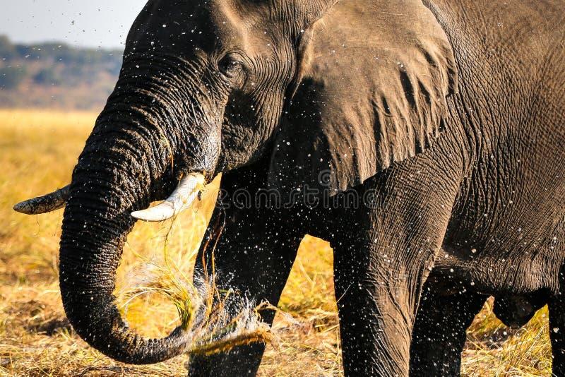 Éléphant sauvage de l'Afrique photographie stock