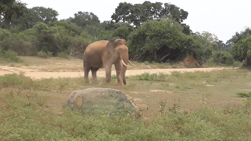 éléphant sauvage de tusker de yala en poussière photos stock