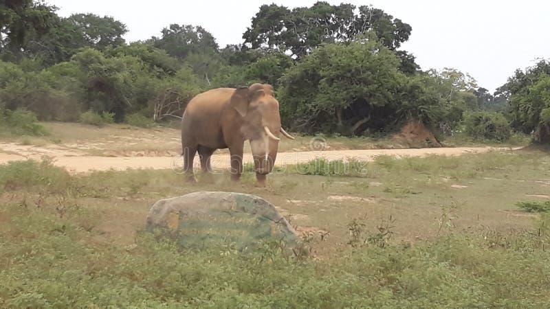 éléphant sauvage de tusker de yala en poussière images stock