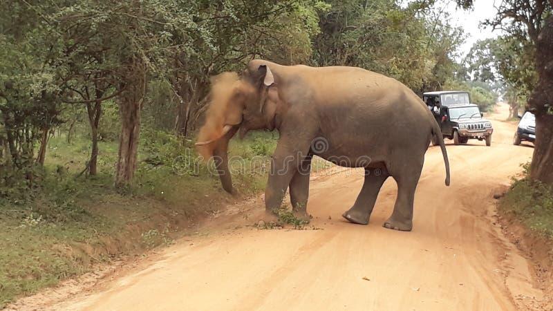 éléphant sauvage de tusker de yala en poussière image stock