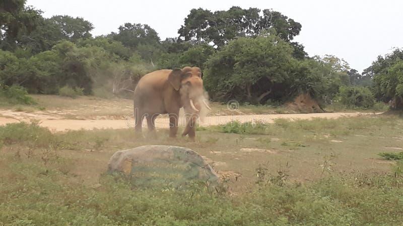éléphant sauvage de tusker de yala en poussière photographie stock
