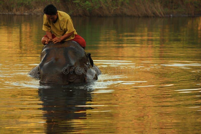 Éléphant se baignant en rivière avec son manipulateur dans le lever de soleil image libre de droits