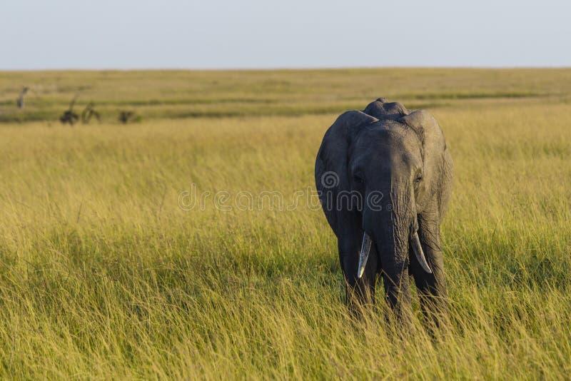 Éléphant sur des plaines photo stock