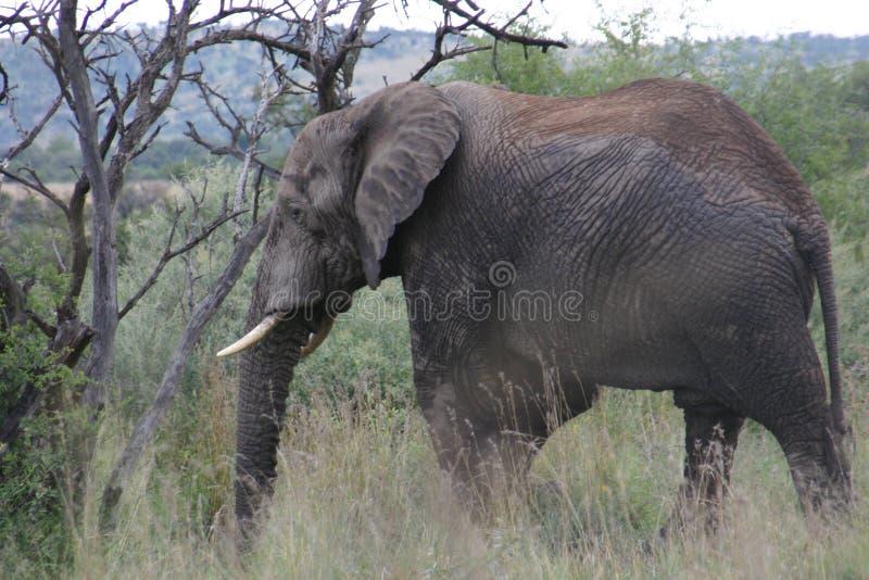Éléphant sur le côté avec des rides photos stock