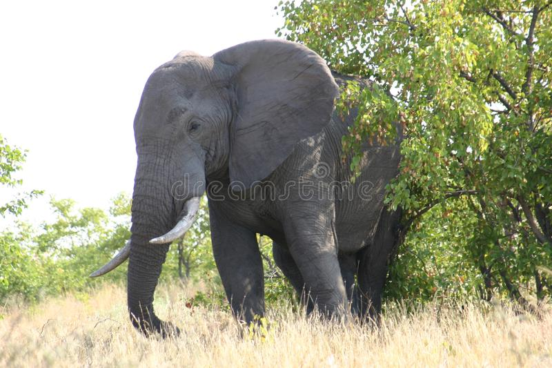 Éléphant vous observant photos stock