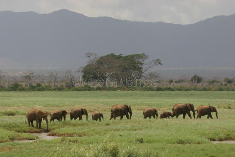 Éléphants africains images stock