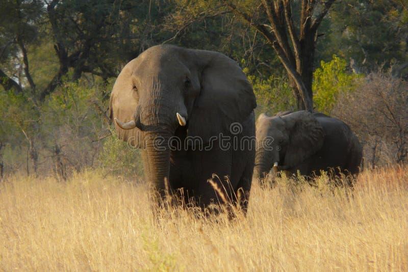 Éléphants africains au Botswana, Afrique images stock