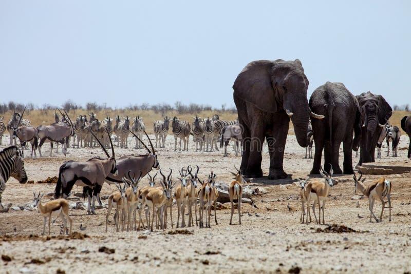 Éléphants africains au Gemsbok, au sprinbok et aux zèbres au point d'eau images stock