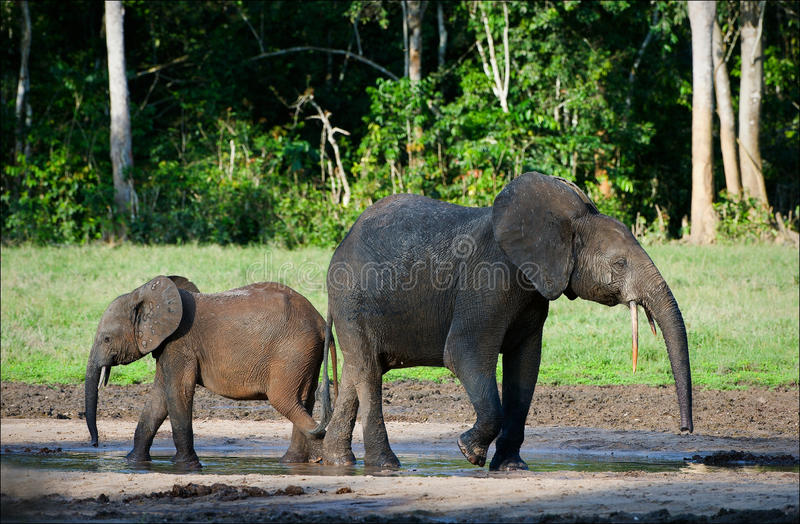 Éléphants africains de forêt. photos stock