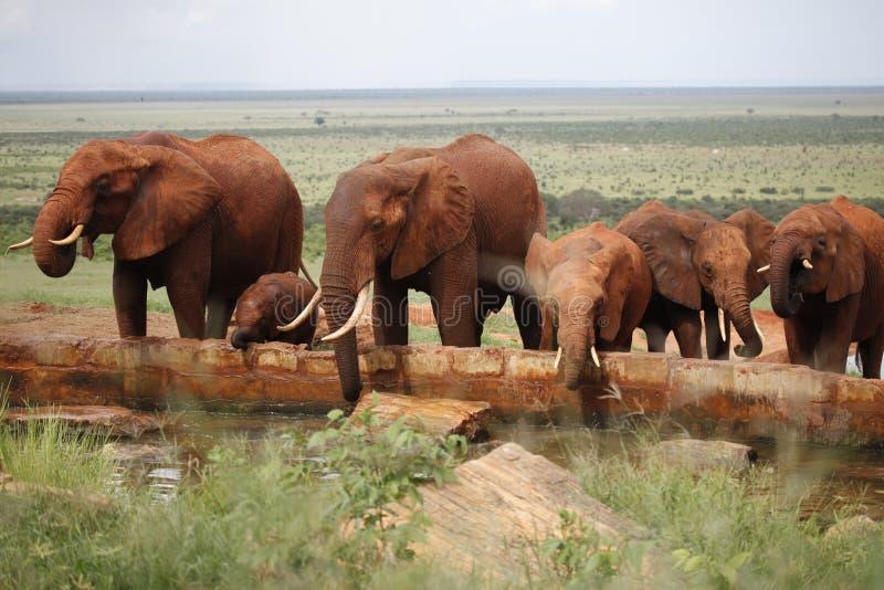 Éléphants africains de troupeau photo stock
