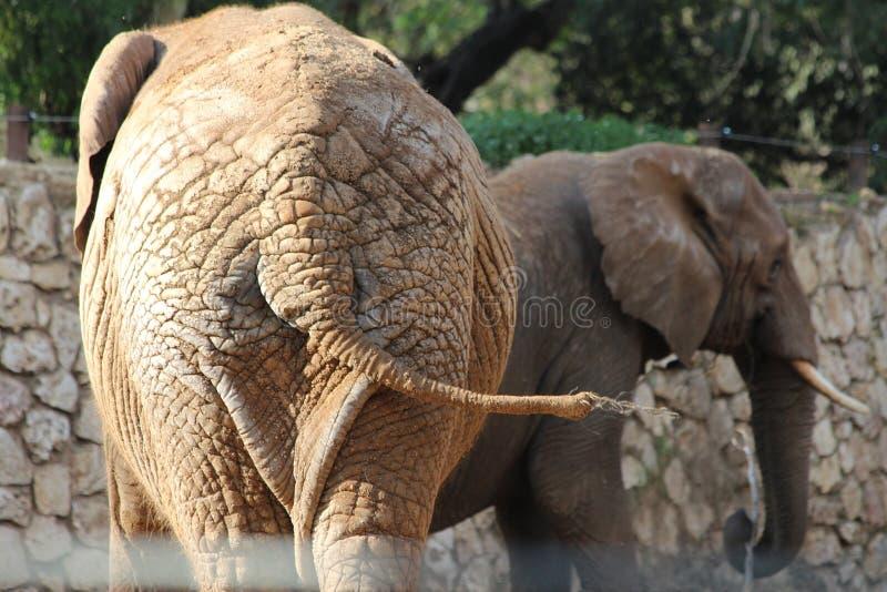 Éléphants africains Vue de queue photo stock