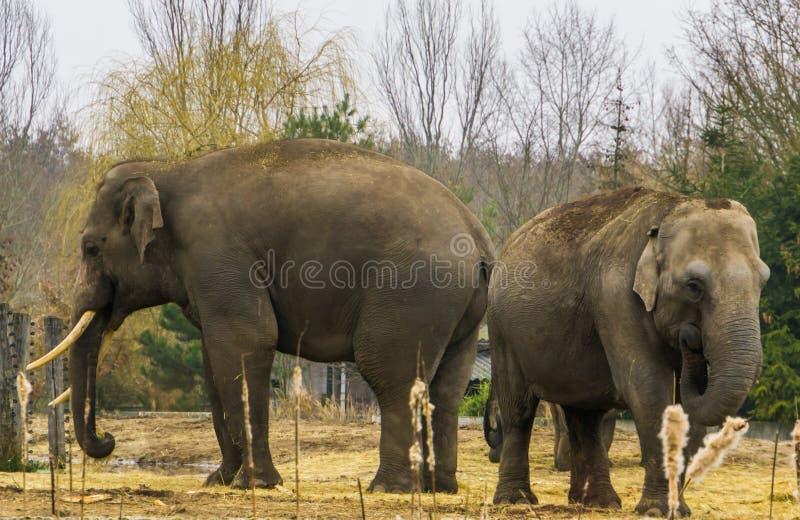 Éléphants asiatiques ensemble, un mâle tusked et une femelle, position de couples d'éléphant ensemble, espèces animales mises en  images stock