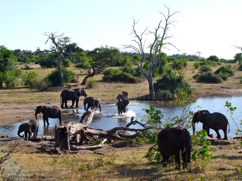 Éléphants au stationnement national de Chobe photographie stock libre de droits
