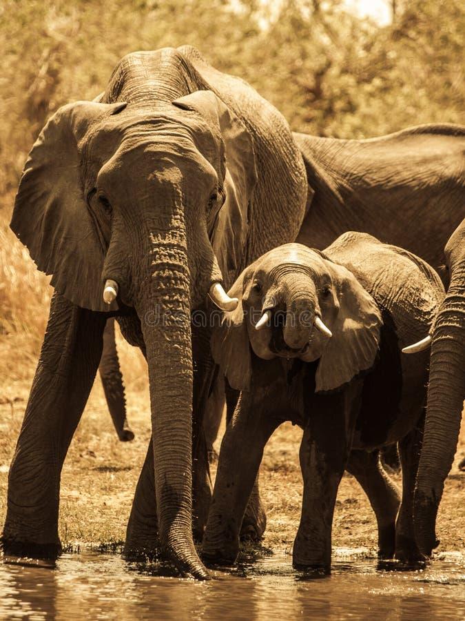 Éléphants au trou d'eau images libres de droits