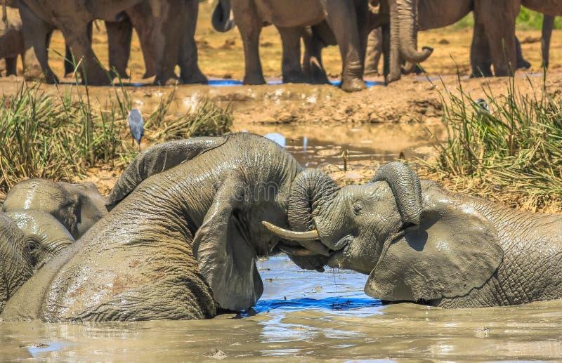 Éléphants combattant dans la boue