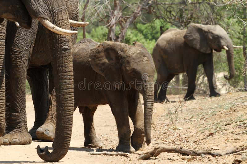 Éléphants dans le buisson du parc national de kruger image stock