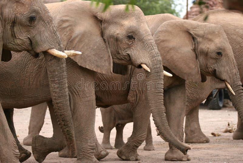 Éléphants dans le camp de Twyfelfontein photos stock