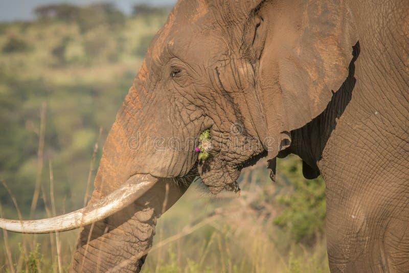 Éléphants dans le sauvage dans Kwazulu Natal images stock