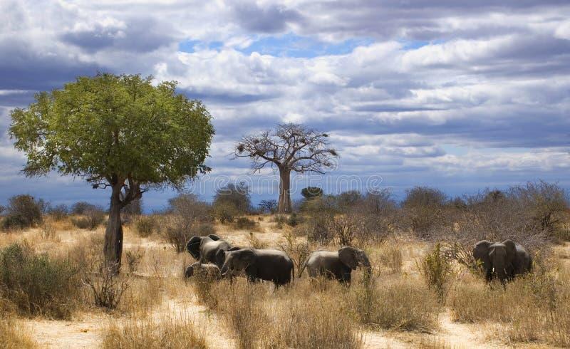 Éléphants dans le savana image stock