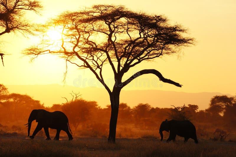 Éléphants dans Tarangire NP Tanzanie pendant le coucher du soleil image libre de droits