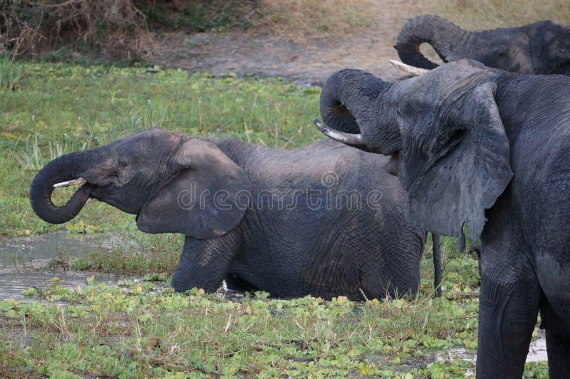 Éléphants dans une piscine potable photos libres de droits