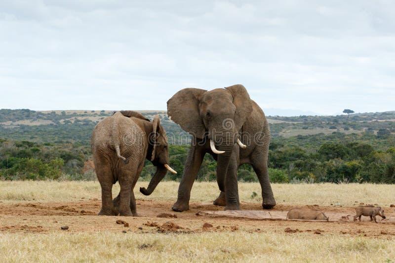 Download Éléphants De Bush D'Africain D'impasse Image stock - Image du gibier, réserve: 77157759