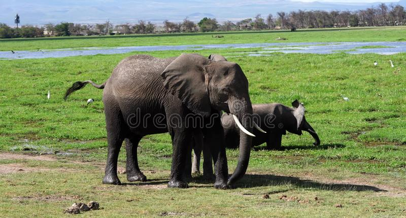 Éléphants de Kilimanjaro en parc national Kenya d'Amboseli photos libres de droits