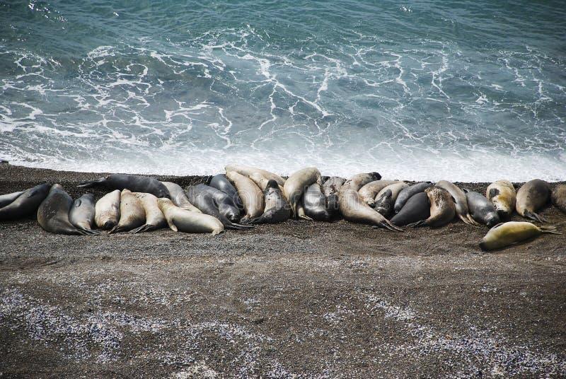 Éléphants de mer, patagonia image libre de droits