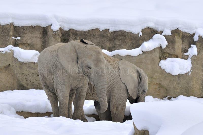 Éléphants en hiver images stock