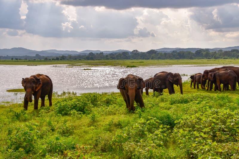 Éléphants en parc national d'Udawalawe sur Sri Lanka photographie stock libre de droits
