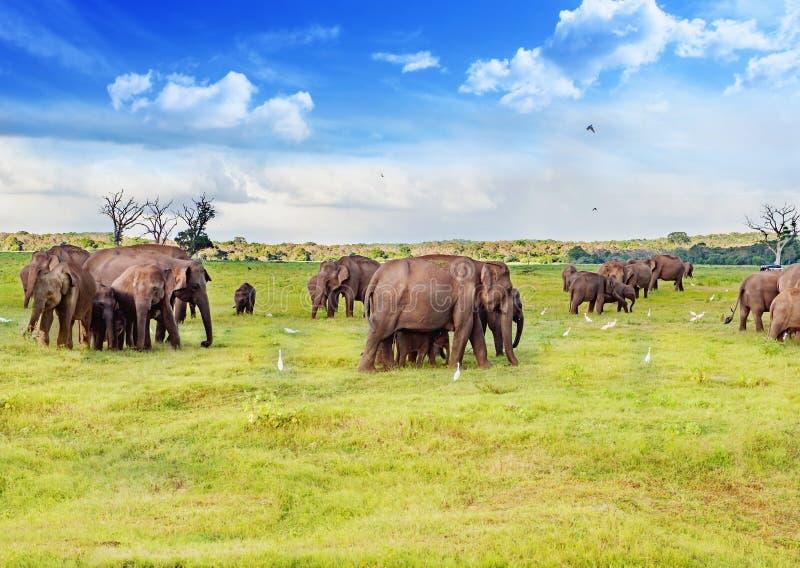 Éléphants en parc national de faune du ` s de Sri Lanka photographie stock