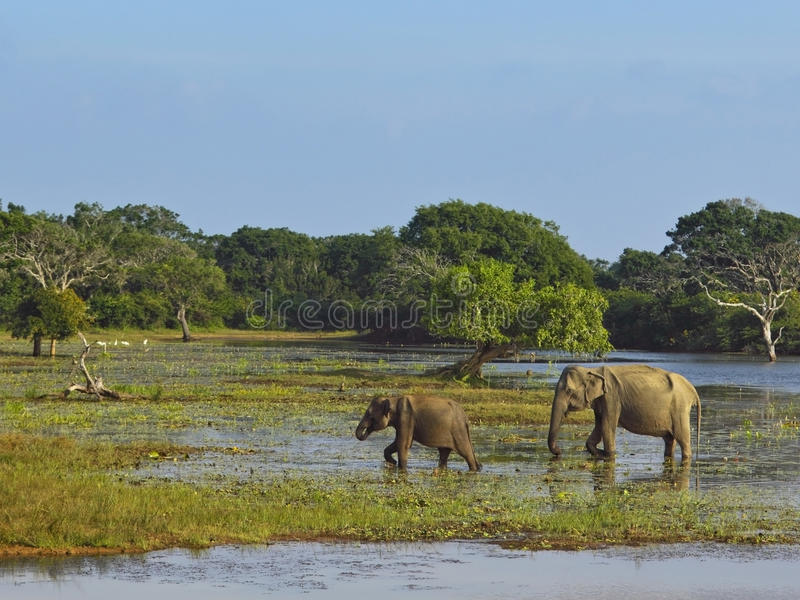 Éléphants en stationnement national de yala photos stock