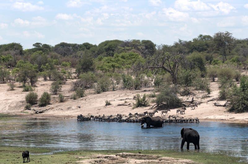 Éléphants et zèbres sur la rivière de Boteti dans la nation de casseroles de Makgadikgadi image libre de droits