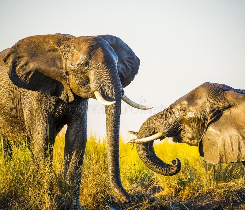 Download Éléphants Jouant Dans La Boue Photo stock - Image du boue, national: 77155312