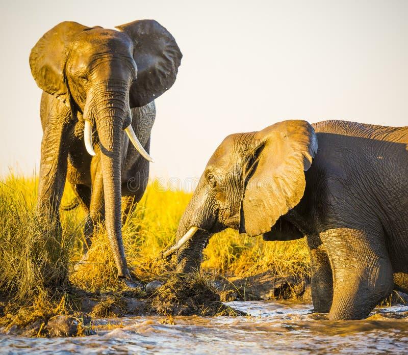 Download Éléphants Jouant Dans La Boue Photo stock - Image du animal, grand: 77156454