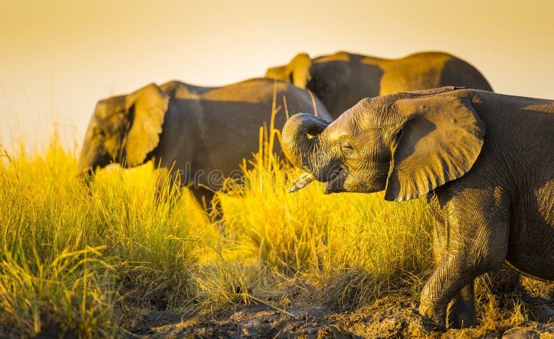 Download Éléphants Jouant Dans La Boue Image stock - Image du beau, faune: 77156593