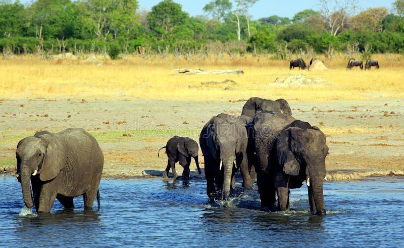 Éléphants pataugeant dans un point d'eau avec un fond africain de plaines photo stock