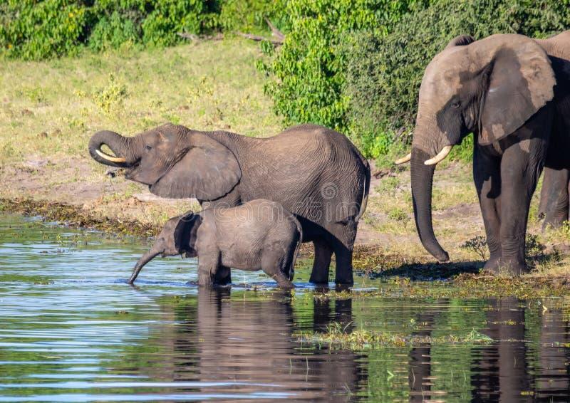 Éléphants près de l'eau de la rivière de chobe au Botswana photos stock