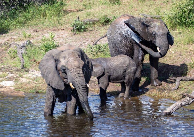 Éléphants se baignant et jouant dans l'eau de la rivière de chobe au Botswana photographie stock