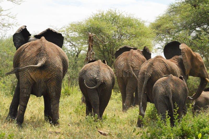 Éléphants sur la course image libre de droits